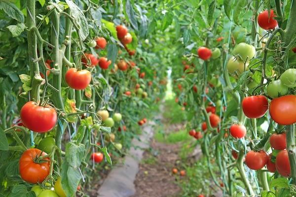Tomato and chili seizures increased at border bridges